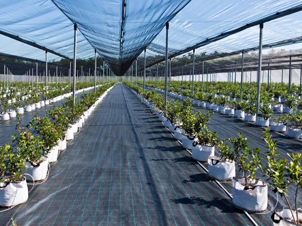 čučoriedkové sadenice